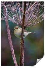 Young Willow Warbler, Print
