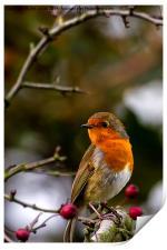 Robin red breast, Print