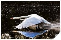 Swan reflection, Print