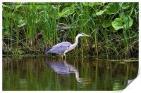 Grey Heron reflected, Print