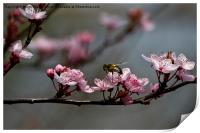 Bee, blossom and promise of spring, Print