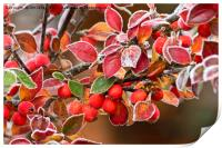 Frosted Berries, Print