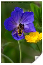 Cranesbill, Buttercup and Hoverfly, Print