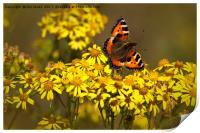 Tortoiseshell butterfly in September sunshine, Print