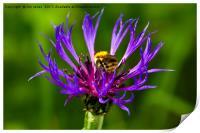 Bee on Mountain Bluet, Print