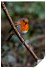 Robin perched on a rose branch, Print