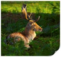 Fallow deer buck at sunrise, Print
