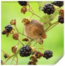 Harvest mouse on a blackberry stem, Print