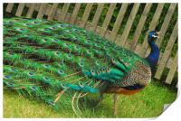 Beautiful Peacock, Print