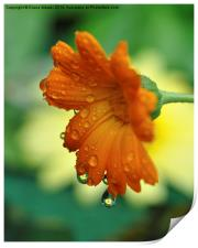 Marigolds, Print