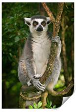 Lemur, Print