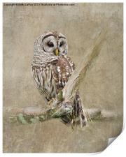 Barred Owl Portrait, Print