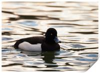 Tufted Duck, Print