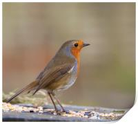 Robin red breast, Print