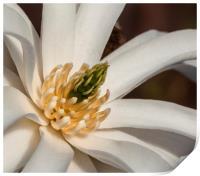 Magnolia Stellata, Print