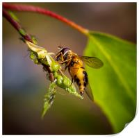Hover fly and aphids, Print
