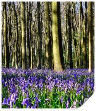 Common bluebell wood scene 2, Print