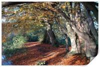 Coltishall, Norfolk, Autumn Beech Trees, Print