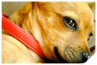 Chihuahua Honey Brown Dog, Print
