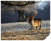 Fallow Deer Stags, Print