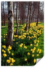 Daffodils in Mitchell Gardens, Chard, Somerset, Print