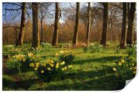 Graves Park Daffodils, Sheffield, Print