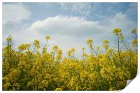 Rapeseed field,South Yorkshire, Print