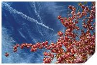 Cherry Blossum Sky , Print