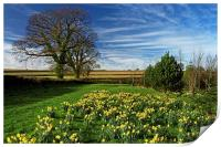 Daffodils at Snowden Heights                      , Print