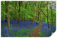 Woolley Wood  Bluebells                           , Print