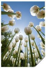 Tulips, Print