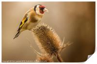 Goldfinch (Carduelis carduelis), Print