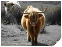 highland cow faceoff