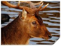 The Head Of A Deer            , Print