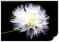 White Wildflower, Print