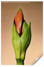 Amaryllis Bud, Print