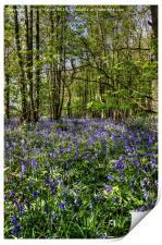 Bluebells Everdon Stubbs Wood, Print