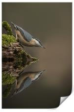 Nuthatch Reflection, Print