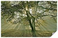 Tree, sun rays, early mist, Print