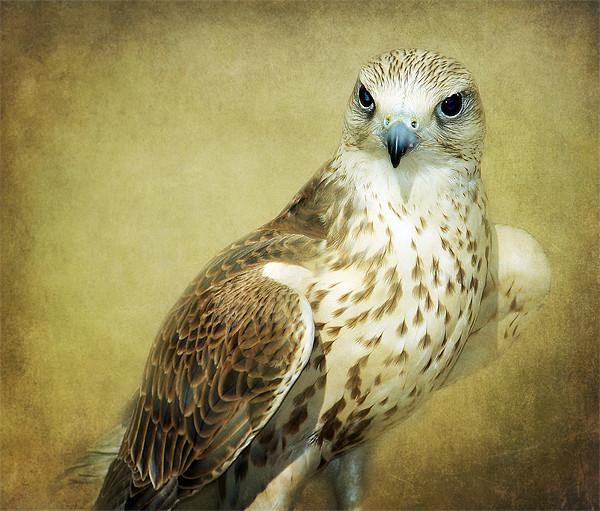 The Saker Falcon Stare, Wood Print